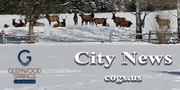 Glenwood Springs City News December - Elk herd on golf course in Glenwood Springs